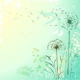 Świeży Dandelion tło Obraz Royalty Free