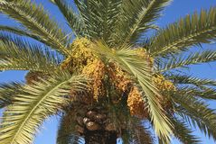 Świeży daty owoc drzewko palmowe Fotografia Royalty Free