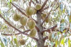 Świeży Durian Fotografia Royalty Free