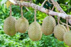 Świeży durian na drzewie Fotografia Royalty Free