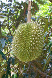 Świeży durian na drzewie Zdjęcia Royalty Free