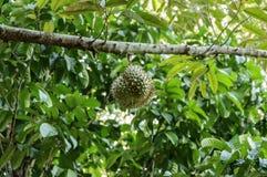 Świeży durian w sadzie Obrazy Royalty Free