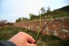 Świeży dziki asparagus Obraz Royalty Free