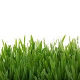 Świeży gęsty trawy zbliżenie Fotografia Royalty Free