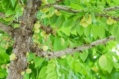 Świeży gwiazdowy agrest na drzewo ogródzie w domu Fotografia Royalty Free