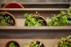 Świeży herbage w garnkach Zdjęcia Royalty Free