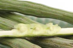Świeży Horseradish drzewo, Drumstick (Moringa oleifera zwianie.). Zdjęcie Royalty Free