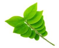 Świeży i malutki zielony liść Obraz Royalty Free