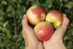 Świeży jabłczany żniwo fotografia stock