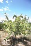 Świeży jabłko od sadu Zdjęcie Stock