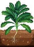 Świeży kale z korzeniami royalty ilustracja