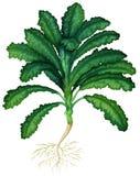 Świeży kale z korzeniami ilustracji