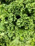 Świeży Kale zbliżenie obraz stock