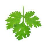 Świeży kolenderów lub cilantro ziele odizolowywający na białym tle Fotografia Royalty Free