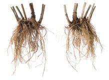 Świeży kozłeka korzeń odizolowywający fotografia stock