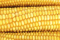 świeży kukurydzany ucho Obrazy Stock