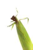 Świeży kukurydzany ucho Fotografia Stock
