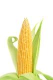 Świeży kukurydzany ucho. Zdjęcia Stock
