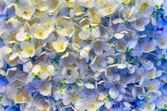 Świeży kwiat jaśmin kwiat światła playnig tło Obrazy Royalty Free