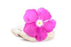 Świeży kwiat na Zen kamieniu, zdroju pojęcie, Biały tło Obrazy Royalty Free