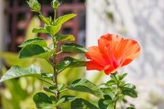 Świeży kwitnie pomarańczowego koloru poślubnika ślazu różany kwiat, kultywujący jak plenerowi dekoracyjni lub ornamentacyjni kwia zdjęcie royalty free