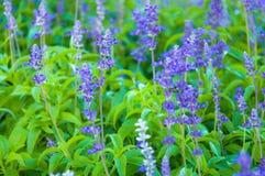 Świeży Lawendowy Botaniczny Zdjęcia Royalty Free