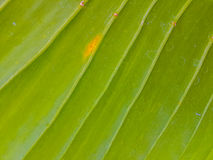 Świeży liść tekstury tło Obrazy Stock