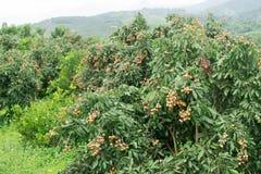 Świeży longan na drzewie Fotografia Royalty Free