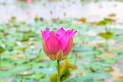Świeży lotos W jeziorze fotografia royalty free