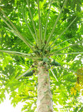 Świeży młody melonowiec z drzewem na białym tle Obrazy Stock