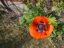 Świeży maczek kwitnie Papaver orientale Fotografia Royalty Free