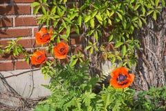 Świeży maczek kwitnie Papaver orientale Zdjęcie Royalty Free