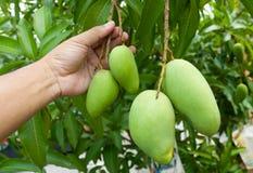 Świeży mango Obrazy Royalty Free