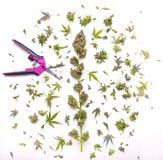 Świeży marihuana kwiat z arymaży cięciami odizolowywającymi nad bielem zdjęcia stock
