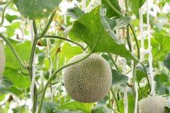 Świeży melon na drzewie kantalup obrazy royalty free