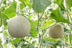 Świeży melon na drzewie kantalup fotografia stock