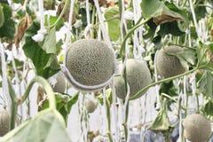 Świeży melon na drzewie kantalup zdjęcie stock
