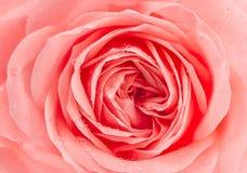 Świeży menchii róży kwiat z wodnymi kroplami Obrazy Royalty Free