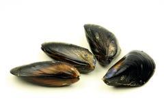 świeży mussel Zdjęcie Royalty Free