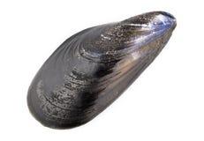 świeży mussel Fotografia Stock