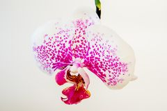 Świeży naturalny biały storczykowy kwiat na białym tle fotografia royalty free