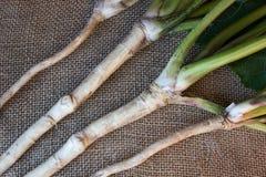 Świeży, obrany, surowy horseradish korzeń, Fotografia Royalty Free