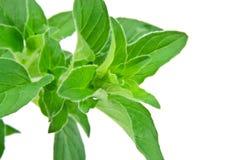 świeży odosobniony liść macro oregano Fotografia Stock