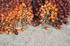 Świeży oleju palmowego ziarno Fotografia Stock