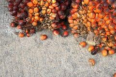 Świeży oleju palmowego ziarno Zdjęcie Stock