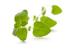 Świeży oregano, aromatyczny ziele Zdjęcia Stock