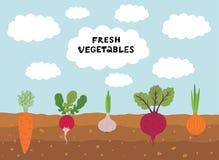Świeży organicznie jarzynowy ogród na niebieskiego nieba tle Ustawia warzywo rośliny narastającej podziemnej marchewki, cebula, c ilustracji