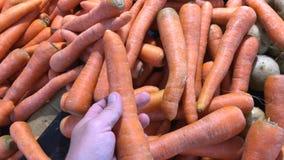 Świeży organicznie marchwiany warzywo w średniorolnym rynku w Azja Mężczyzna ręka wybiera zdrowej marchewki zbiory wideo
