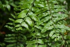 Świeży paprociowy liść od podeszczowej wody kropli Fotografia Stock