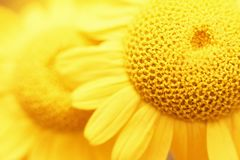 Świeży piękny chamomile zbliżenie na zamazanym tle Odgórny widok kosmos kopii Zdjęcie Royalty Free